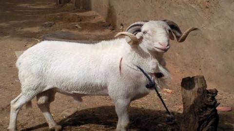 Au fait à qui devons nous le mouton de tabaski ? Ismael ou Isaac ?